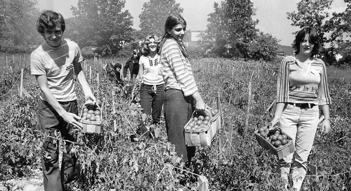 Students harvesting tomatoes.