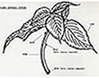 Diagram of a coleus
